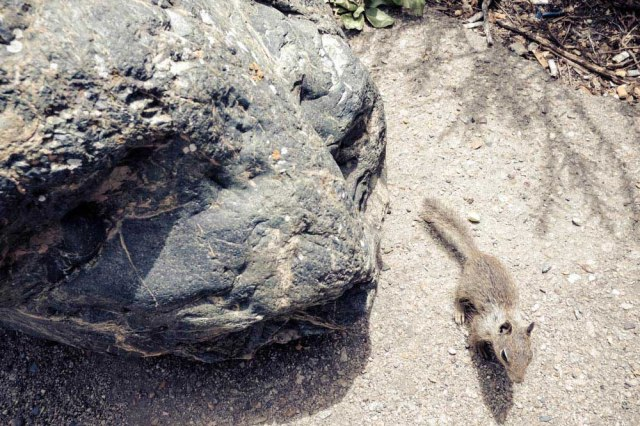 Californian Ground Squirrel